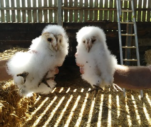 Barn owl chicks July 2020