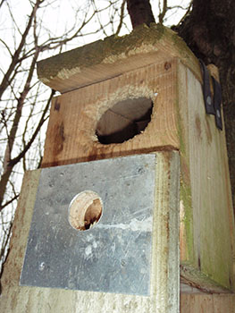 Replacing front of bird box damaged by woodpecker