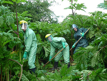 Friends of Bowdon/Bollin tackling Giant Hogweed