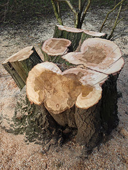 Stump of felled willow tree showing extent of decay