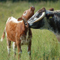 Longhorn cow with her calf